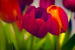Abstracte Tulpen Rode Zachte Achtergrond de lente Groene Stammen Royalty-vrije Stock Foto