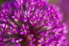 Abstracte violette bloemen op gebied Royalty-vrije Stock Foto's