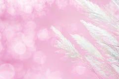 Abstracte zachte nadruk van roze het Pluimgrasachtergrond van de verlichtingszachtheid Royalty-vrije Stock Fotografie