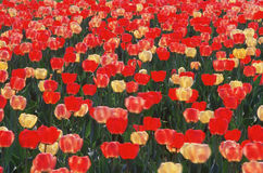 Abstracted red and yellow tulip field Stock Photo