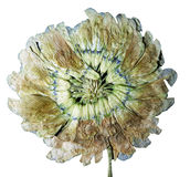 Abstraction of pressed white clover flower Stock Images
