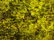 Abstraction, seaweed Laminaria Royalty Free Stock Image
