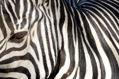 Abstracts from zebra. A photo showing the lateral view of zebra with illustrating the black and white colored striation of the skin Royalty Free Stock Photos