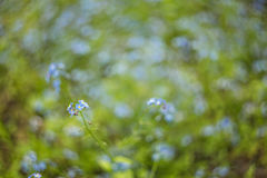 Abstraia o fundo borrado com as flores azuis pequenas com bokeh bonito Foto de Stock Royalty Free