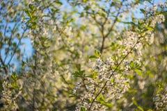 Abstraia o fundo borrado com flor de cerejeira bonita em um dia de mola ensolarado imagens de stock