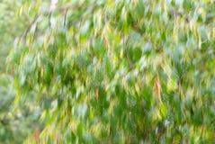 abstraiga el fondo Abedul en la lluvia Foto de archivo libre de regalías