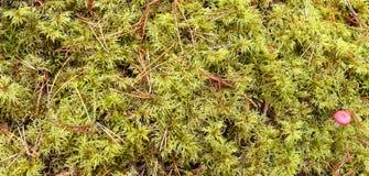 abstraiga el fondo un esfagno del musgo en el bosque Imagenes de archivo
