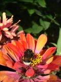 abstraiga el fondo Zinnias, abeja y verdor Imagenes de archivo