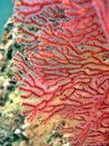 Abstrait - ventilateur de mer Photo libre de droits