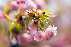 Abstrakcj menchii kwiat Obraz Royalty Free