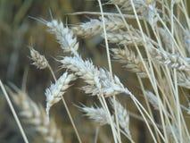 Abstrakcjonistyczna fotografia pszeniczny pole Obraz Stock