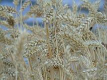 Abstrakcjonistyczna fotografia pszeniczny pole Zdjęcia Stock