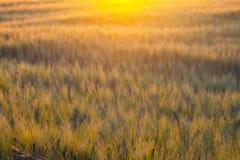 Abstrakcjonistyczna fotografia pszeniczny pole i jaskrawi bokeh światła Obraz Stock