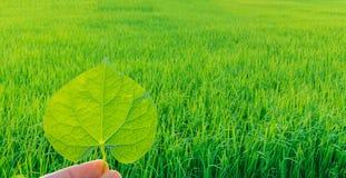 Abstrakcjonistyczna miękka ostrości sylwetka wschód słońca z palcowym chwytem zielony liść Tinospora crispa, Menispermaceae, jedn Obrazy Stock