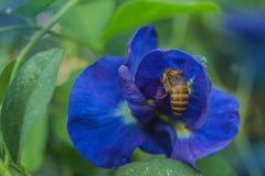 Abstrakcjonistyczna miękka zamazana i miękka ostrość kolorowa błękitny groch, motyli groch, Clitoria ternatea, Leguminosae, Papil Zdjęcia Stock