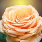 Abstrakcjonistyczna plamy i miękkiej części pomarańcze róża tupocze Obraz Stock