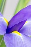 Abstrakcjonistyczna purpurowa irysowa fotografia Obraz Stock