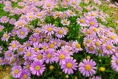 Abstrakcjonistyczna purpurowa natura Fotografia Royalty Free
