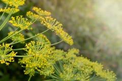 abstrakcjonistyczna składu głębii koperu pola kwiatu płycizna Parasolowi kwiatów ziarna ogrodowy zielarski roślina koper Fragrant obrazy royalty free