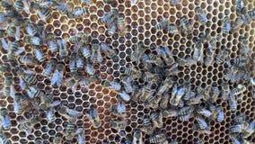Abstrakcjonistyczna sześciokąt struktura jest honeycomb od pszczoła roju wypełniającego z złotym miodem zbiory wideo