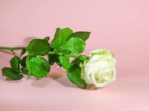 Abstrakcjonistyczna tło bielu róża Fotografia Royalty Free