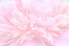 Abstrakcjonistycznego kwiatu tła peoni delikatni różowi płatki, zamazany unfocused Obrazy Stock