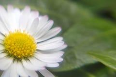 abstrakcjonistycznego tła stokrotki projekta kwieciści świezi zieleni natury wiosna lato wildflowers yellow Kwiecisty natury stok fotografia royalty free
