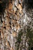 abstrakcjonistycznego tło kory dąb projektu Zdjęcie Royalty Free