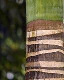 abstrakcjonistycznego tło szczegółów tekstury palm tree bagażnika drewna Zdjęcia Stock