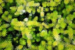 abstrakcjonistycznego zielona fractal roślinnych Fotografia Stock
