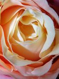Abstrakcjonistycznej tkaniny róż Różana tęcza zdjęcia stock