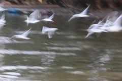 Abstrakcjonistyczni Latający biali frajery wzdłuż rzeki Zdjęcie Stock