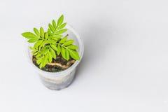 Abstrakcjonistyczni miękcy zamazani i miękcy ostrość nagietki, Tagetes, Tagetes erecta, Asteraceae, rośliien rozsady na plastikow Zdjęcie Royalty Free
