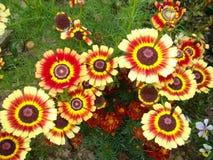 abstrakcjonistyczni tła chryzantemy koloru kwiaty Obraz Royalty Free