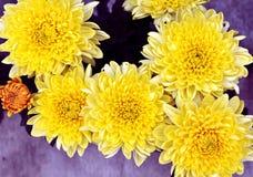 abstrakcjonistyczni tła chryzantemy koloru kwiaty Fotografia Royalty Free