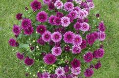 abstrakcjonistyczni tła chryzantemy koloru kwiaty Obraz Stock