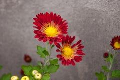 abstrakcjonistyczni tła chryzantemy koloru kwiaty Fotografia Stock