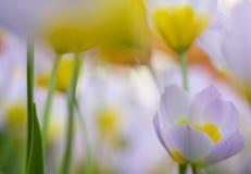 Abstrakcjonistyczni tulipany Obraz Royalty Free