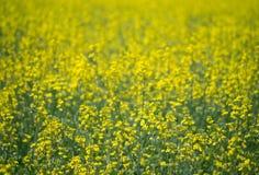 Abstrakcjonistyczny Żółty oilseed pole Fotografia Stock