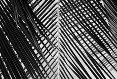 Abstrakcjonistyczny czarny i biały piękny palma liść Obrazy Stock