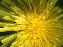 Abstrakcjonistyczny Dandelion Up zakończenie i kolor żółty fotografia stock