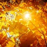 Abstrakcjonistyczny jesieni natury tło z klonowym drzewem opuszcza Obraz Royalty Free