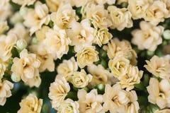 Abstrakcjonistyczny kolor żółty kwitnie z rosa wsparciami, odgórny widok, selekcyjna ostrość Piękny naturalny kwiecisty tło, zaws Fotografia Stock