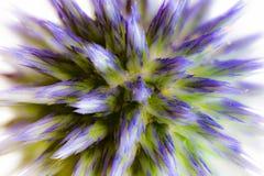Abstrakcjonistyczny kwiat makro- błękitny oset Fotografia Stock