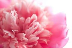 abstrakcjonistyczny kwiat odizolowywać peoni menchie Obrazy Royalty Free