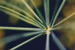 Abstrakcjonistyczny kwiatostanu koperu zakończenie Zdjęcia Stock