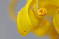 abstrakcjonistyczny kwiatu leopardbane banan Zdjęcie Royalty Free