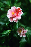 abstrakcjonistyczny kwiatu poślubnika ilustraci wektor Obrazy Royalty Free