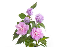 abstrakcjonistyczny kwiatu poślubnika ilustraci wektor Zdjęcia Stock