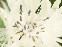 Abstrakcjonistyczny makro- strzał piękny biały knapweed kwiat kwiecisty Fotografia Royalty Free